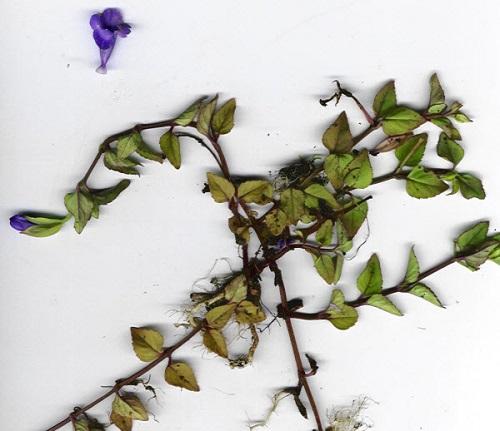 cách chữa bệnh lậu dân gian bằng cây cỏ bướm nhãn