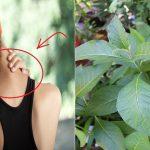 Công dụng của cây Lá đắng chưa đau vai gáy