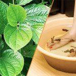 Chia sẻ 3 cách chữa bệnh phong thấp bằng lá lốt