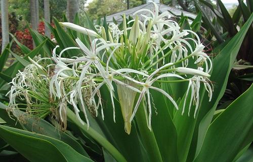 náng hoa trắng chữa bệnh xương khớp