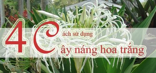 4 bài thuốc chữa bệnh xương khớp từ cây náng hoa trắng