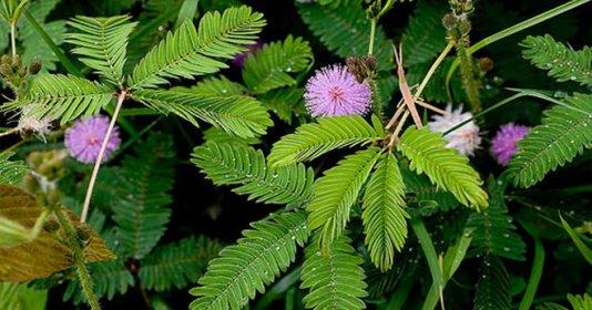 Bài thuốc nam chữa thoái hóa cột sống từ cây trinh nữ