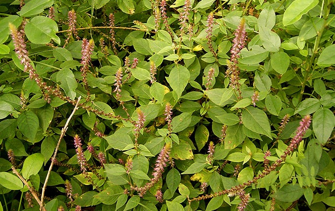Bài thuốc Nam trị thoái hóa cột sống từ cây cỏ xước